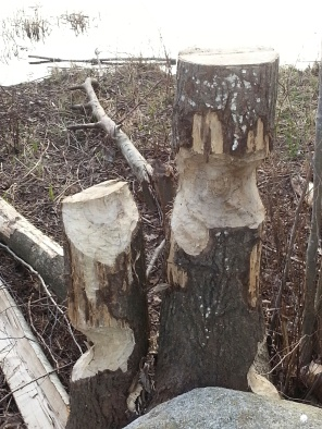 Beavers have gnawed many of the trees around the lake