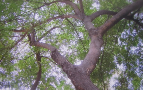 Neem tree, Malecon, Guayaquil