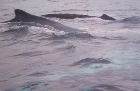 Humpback whales on the way to Isla de la Plata