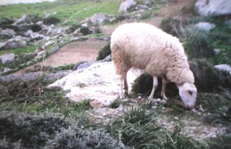 Sheep grazing near Dingli Cliffs