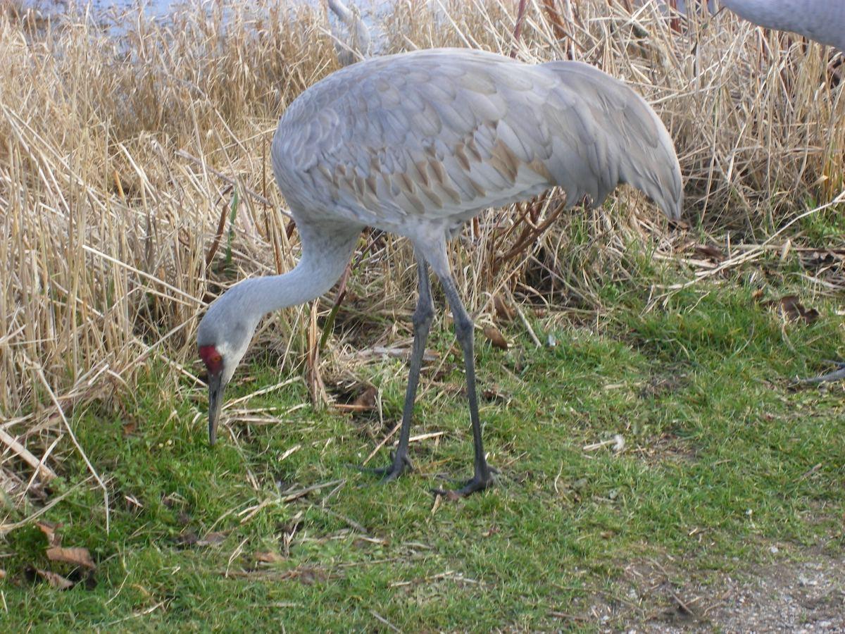 Westham Island's George C. Reifel Migratory Bird Sanctuary