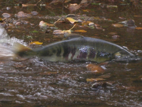 This male chum salmon swished over the shallow section (top photo), then, because the female with him was scared, went back to encourage her over.