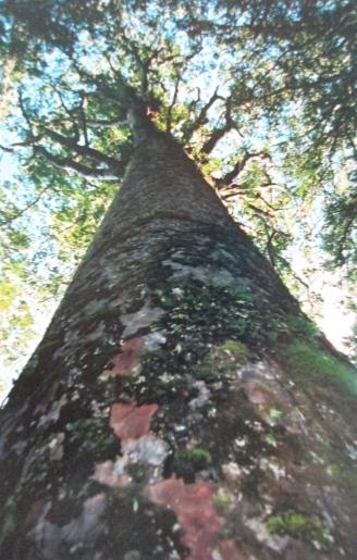 Kauri tree, Waipoua Kauri Forest