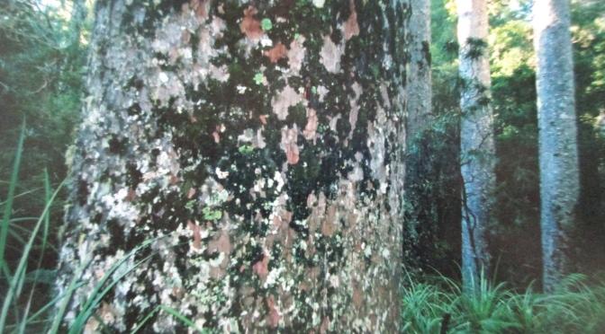 New Zealand's kauri forest