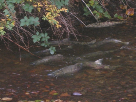 Spawning chum heading upstream, Scott Creek