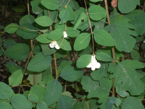 Snowberry shrub along Scott Creek