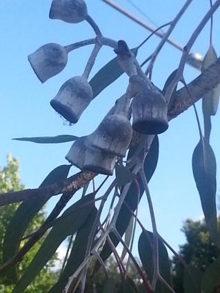 Gum tree, gum nuts, Melbourne