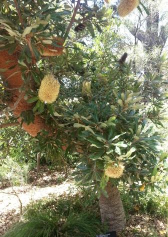 Banksia robur, Melbourne