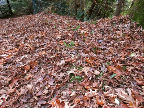 Fallen leaves along the Hoy Creek Trail, Coquitlam
