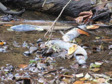 Dead chum, Hoy Creek Trail, Coquitlam