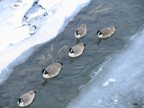 Canada geese, Bow River