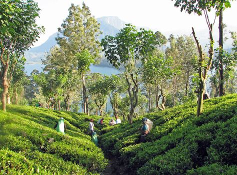 800px-Tea_plantation,_Sri_Lanka