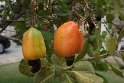 800px-cashew_apple_with_nut_-_caju