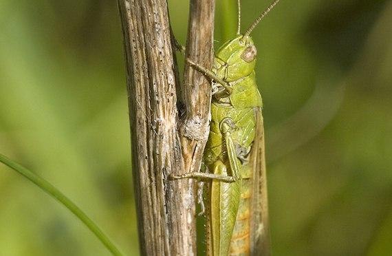 A Dar es Salaam Grasshopper Invasion