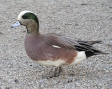 wigeon, Reifel Bird Sanctuary