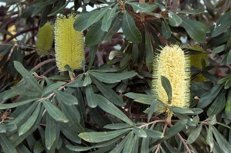 banksia-rexness-melbourne