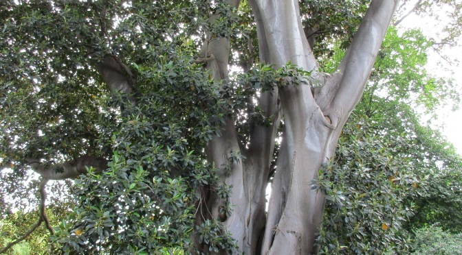 Melbourne's Botanic Garden's Tall Trees