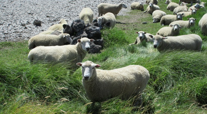 Ambury Regional Park's sheep