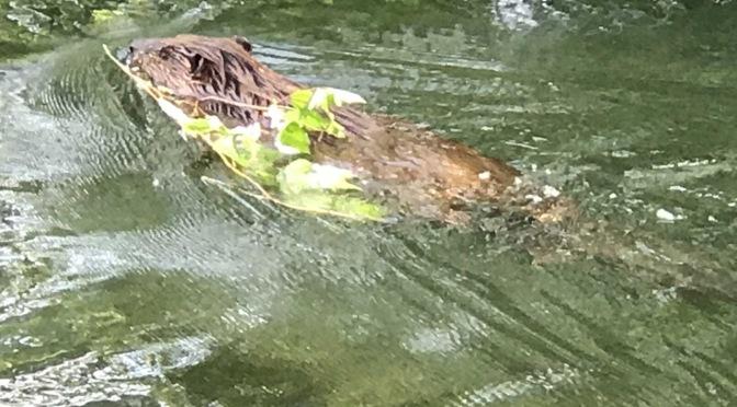 Finally — a beaver