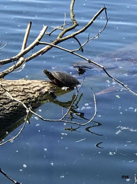 Lake LaFarge tortoise