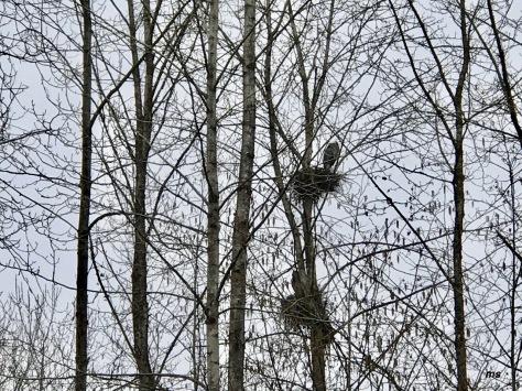Nesting heron, Rocky Point Trail