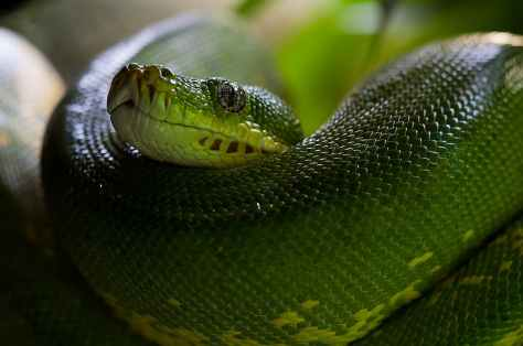 green-tree-python-snake-python-morelia-viridis-60512