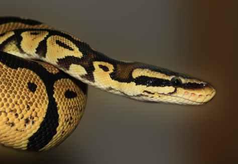 snake-ball-python-python-regius-beauty-53140