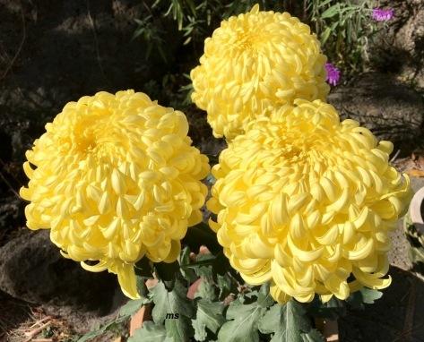 Chrysanthemum festival, Hallim Park