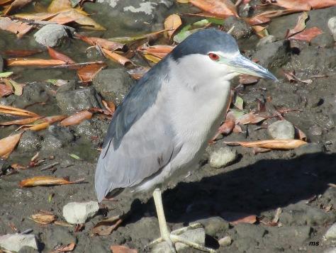 Black crowned night heron, Guandu Nature Reserve