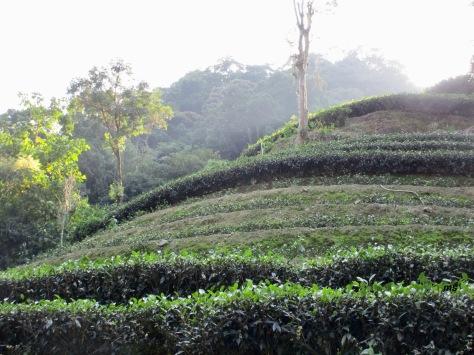 Tea Plantation by Zhinan Road