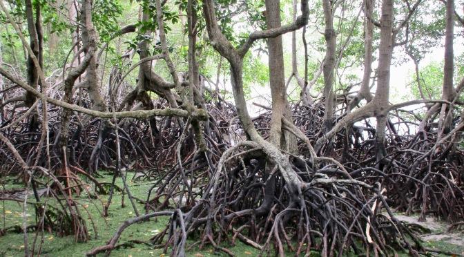 Pulau ubin island's chek jawa wetlands' mangrove boardwalk